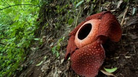 Rafflesia Arnoldii Wallpaper Full HD
