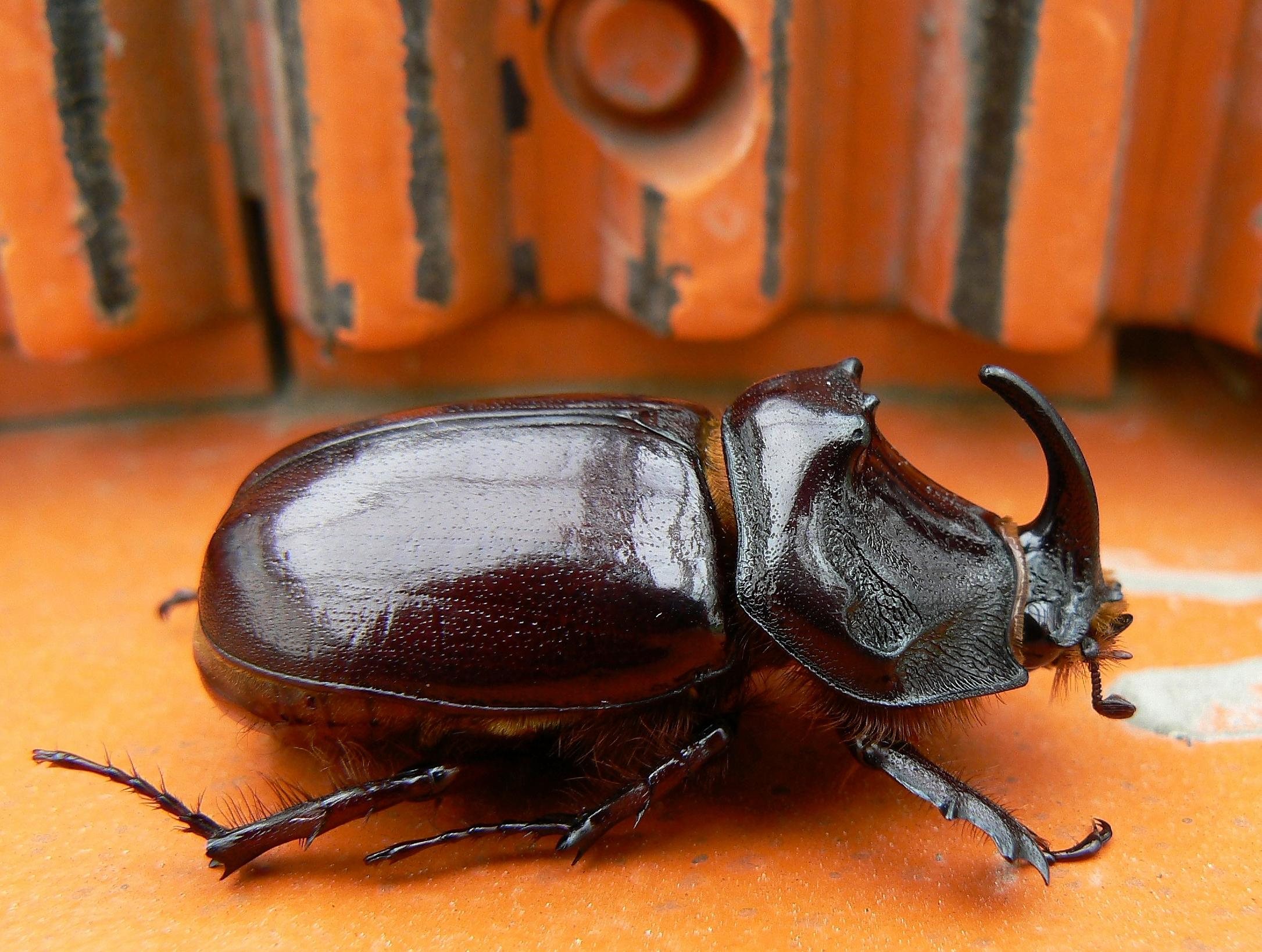 Что едят жук носорог в домашних условиях 72