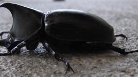 Rhinoceros Beetle Wallpaper HQ