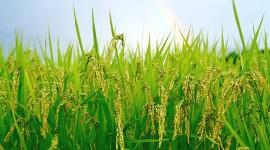 Rice Fields Best Wallpaper