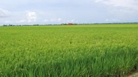 Rice Fields Desktop Wallpaper