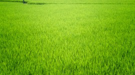 Rice Fields Desktop Wallpaper Free