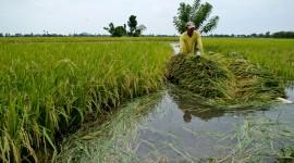 Rice Fields High Quality Wallpaper