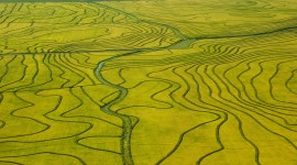 Rice Fields Picture Download