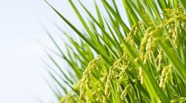 Rice Fields Wallpaper
