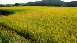 Rice Fields Wallpaper Download