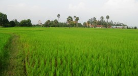 Rice Fields Wallpaper Download Free