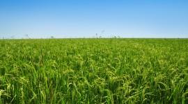 Rice Fields Wallpaper For Desktop