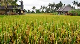 Rice Fields Wallpaper Full HD