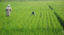Rice Fields Wallpaper HD