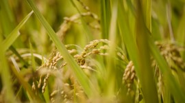 Rice Fields Wallpaper HQ