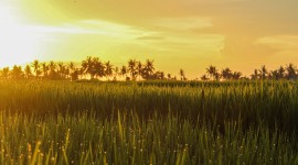 Rice Fields Wallpaper High Definition