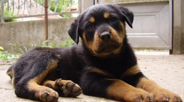 Rottweiler Desktop Wallpaper HD