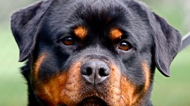 Rottweiler High Quality Wallpaper