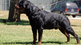 Rottweiler Wallpaper Download Free
