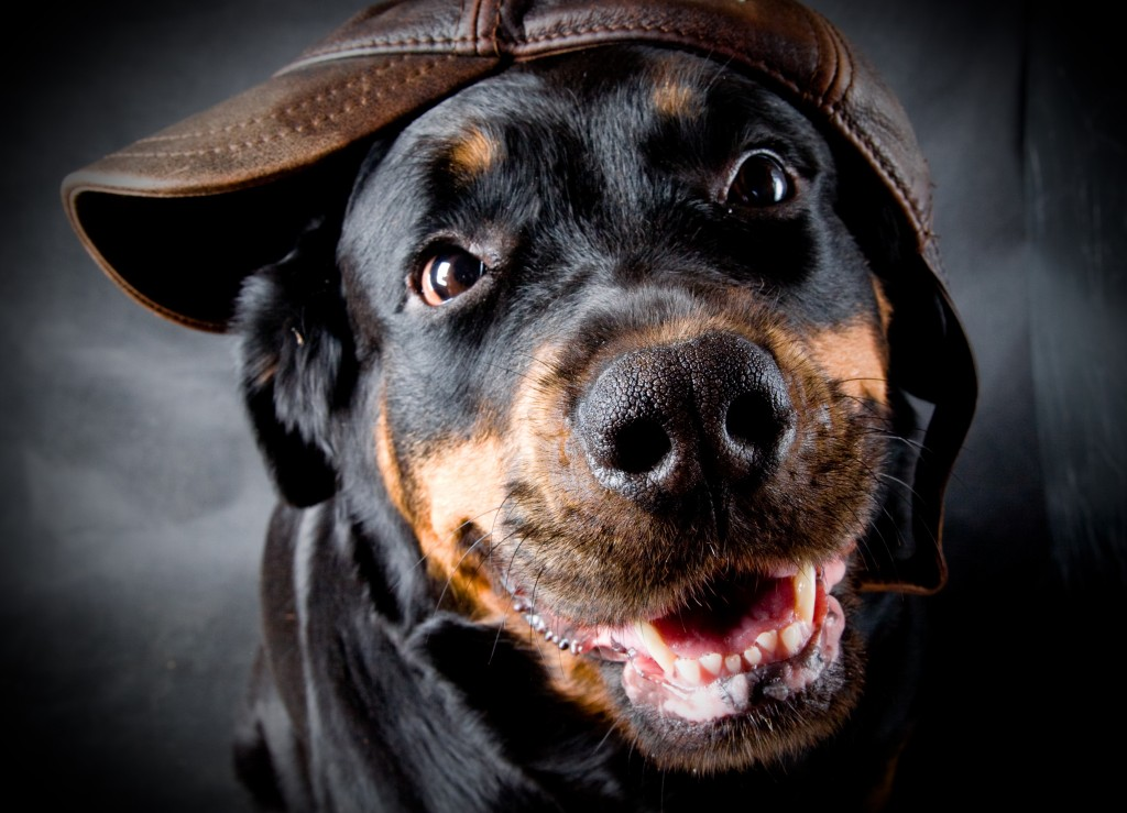 Rottweiler wallpapers HD