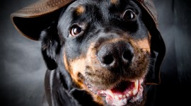 Rottweiler Wallpaper Full HD