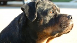 Rottweiler Wallpaper High Definition