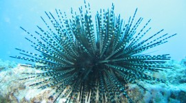 Sea ​​Urchin Wallpaper High Definition