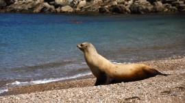 Sea Lion Wallpaper HQ