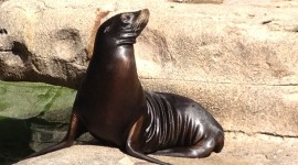 Sea Lion Wallpaper#1