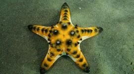 Starfish Image Download