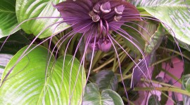 Tacca Chantrieri Desktop Wallpaper