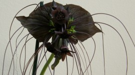 Tacca Chantrieri Photo Free