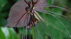 Tacca Chantrieri Wallpaper For IPhone