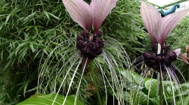 Tacca Chantrieri Wallpaper Gallery