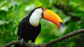 Toucan Best Wallpaper