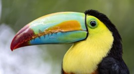 Toucan Desktop Wallpaper HD
