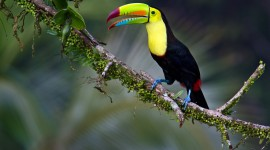 Toucan Wallpaper Download
