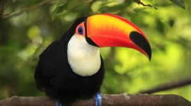 Toucan Wallpaper For PC