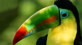 Toucan Wallpaper HD