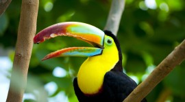 Toucan Wallpaper High Definition