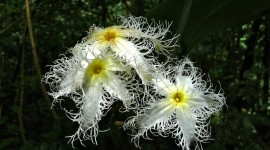 Trichosanthes Photo