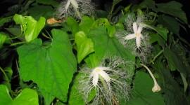 Trichosanthes Photo Free
