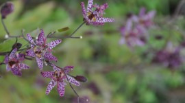Tricyrtis Hirta Photo Free