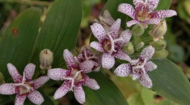 Tricyrtis Hirta Wallpaper For Desktop