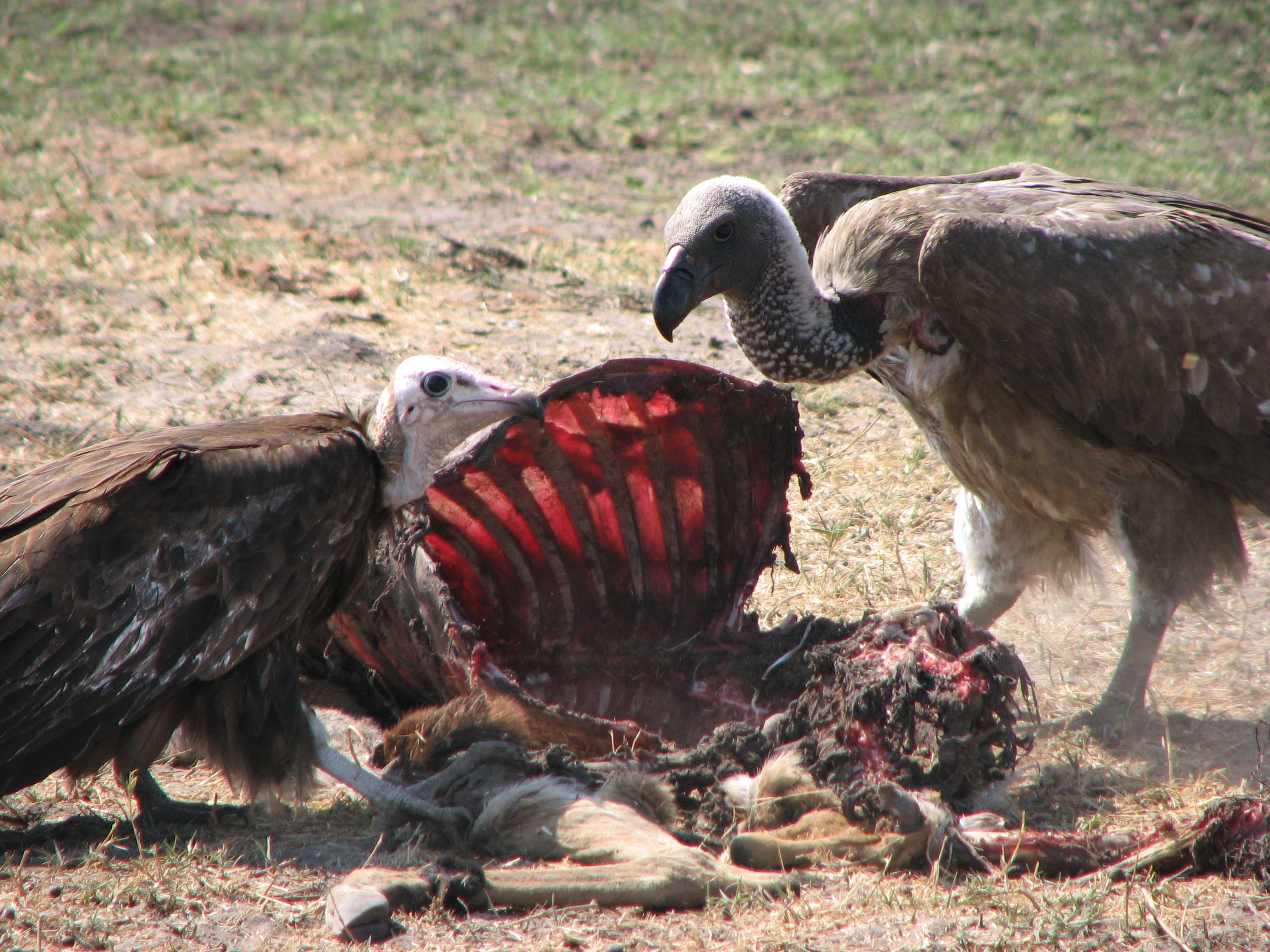 African vulture child