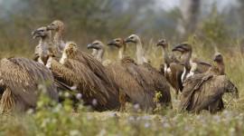 Vultures Photo Download