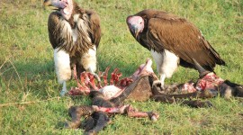 Vultures Photo#3