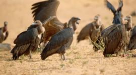 Vultures Photo#4