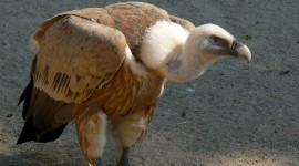 Vultures Wallpaper Download