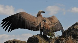 Vultures Wallpaper For Desktop