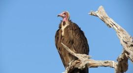 Vultures Wallpaper#1
