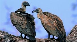 Vultures Wallpaper#3