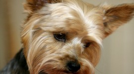 Yorkshire Terrier Best Wallpaper