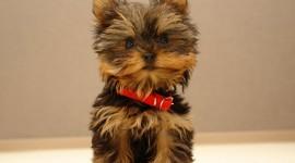 Yorkshire Terrier Desktop Wallpaper